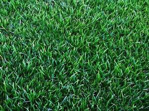 geozoysia_grass2
